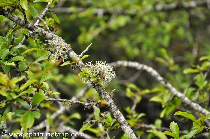 Polmonaria, varietà di licheni sui rami di un albero, Foresta Casentinese - Vallesanta - Arezzo - Toscana - Italia - #welikecasentino